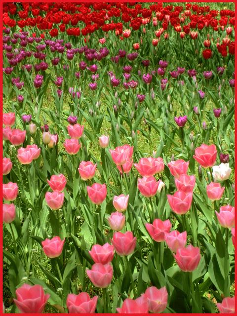 チューリップの国から、ぶら静香・海外編。AMS?から、春の花お届け。_e0236072_14103841.jpg