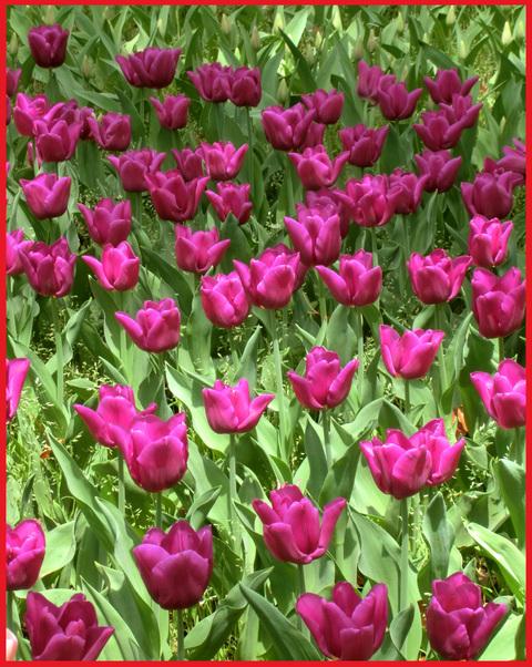 チューリップの国から、ぶら静香・海外編。AMS?から、春の花お届け。_e0236072_1411478.jpg