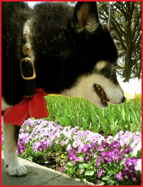 チューリップの国から、ぶら静香・海外編。AMS?から、春の花お届け。_e0236072_14134169.jpg
