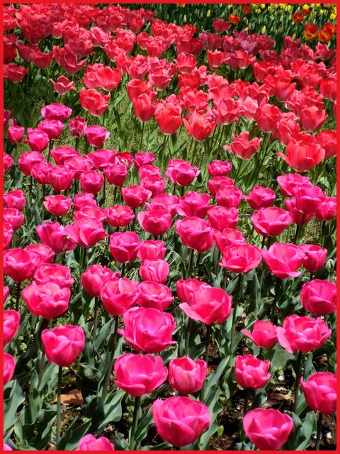 チューリップの国から、ぶら静香・海外編。AMS?から、春の花お届け。_e0236072_14144571.jpg