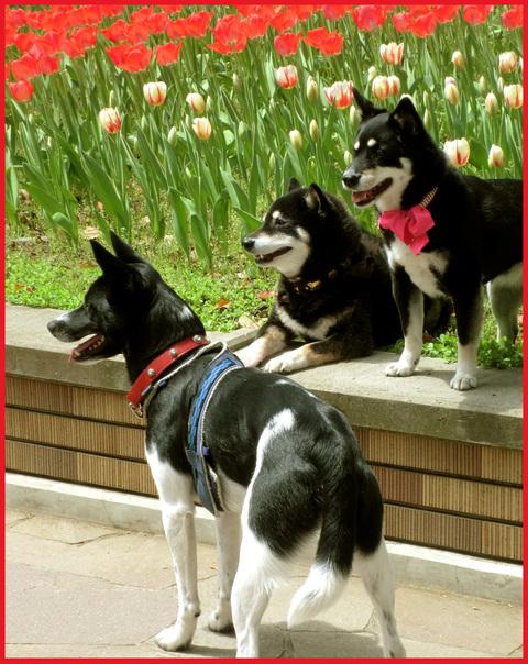チューリップの国から、ぶら静香・海外編。AMS?から、春の花お届け。_e0236072_1415164.jpg