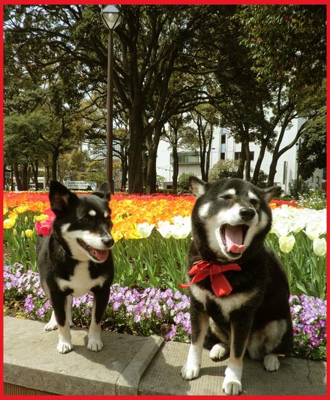 チューリップの国から、ぶら静香・海外編。AMS?から、春の花お届け。_e0236072_14293385.jpg