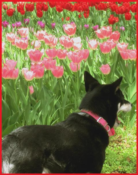 チューリップの国から、ぶら静香・海外編。AMS?から、春の花お届け。_e0236072_1445780.jpg