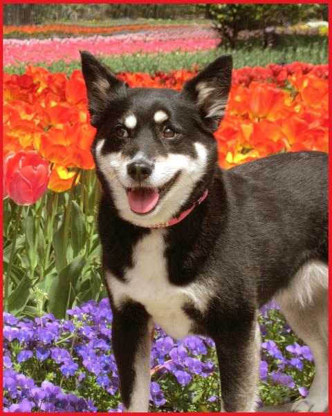 チューリップの国から、ぶら静香・海外編。AMS?から、春の花お届け。_e0236072_1482369.jpg