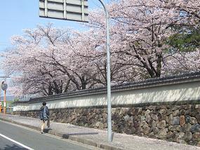 桜名所めぐり 大和郡山城址_d0227610_11421760.jpg