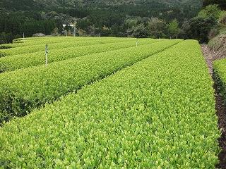 香り高い茶の産地鹿児島県大隅半島田代地区_d0108817_8352243.jpg