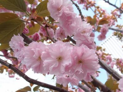 八重桜_a0231828_21472834.jpg
