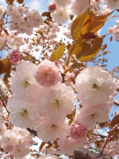 八重桜_a0231828_21474113.jpg