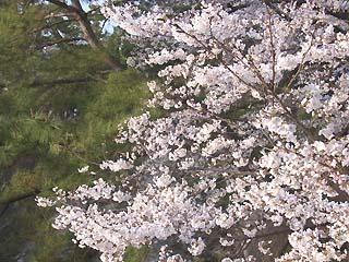 夙川のさくら_f0022751_2073118.jpg