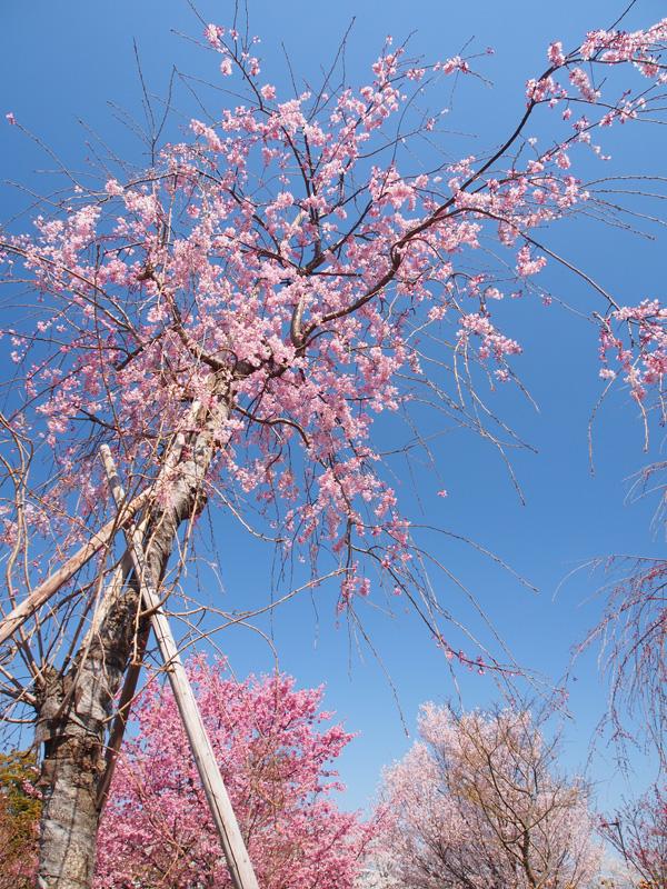 桜も終わり_a0100959_2332372.jpg