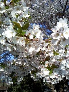 お花見散歩と作品〜_a0108859_2153972.jpg
