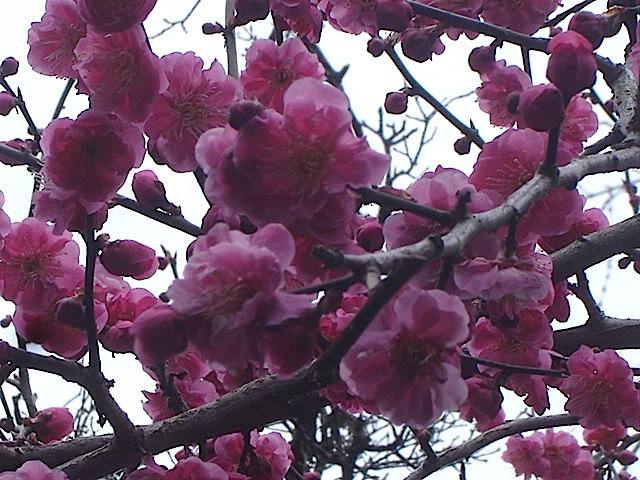 庭の梅_e0019167_1841336.jpg