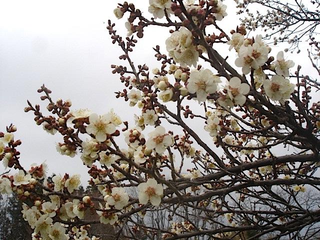 庭の梅_e0019167_18423916.jpg