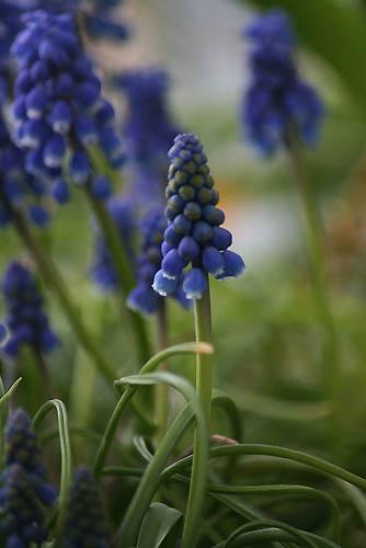 ムスカリとアケビの花。_f0030085_21263672.jpg