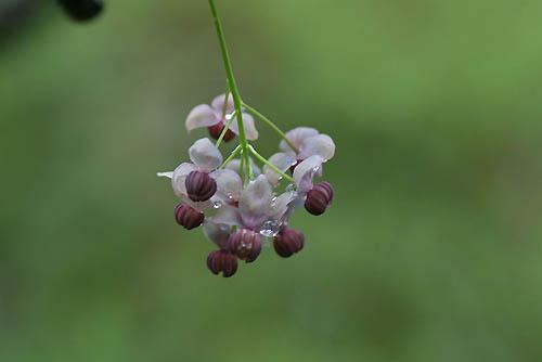 ムスカリとアケビの花。_f0030085_2127583.jpg
