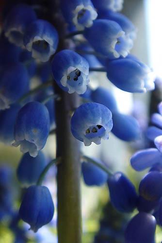 ムスカリとアケビの花。_f0030085_2127799.jpg