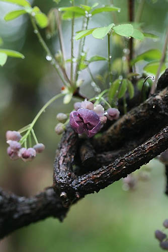 ムスカリとアケビの花。_f0030085_21281432.jpg