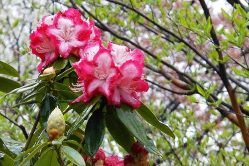 ムスカリとアケビの花。_f0030085_21345971.jpg
