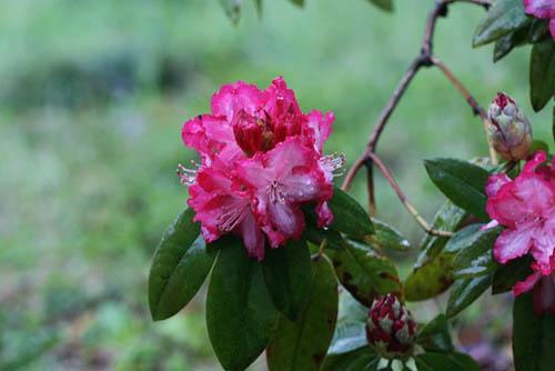 ムスカリとアケビの花。_f0030085_21351678.jpg