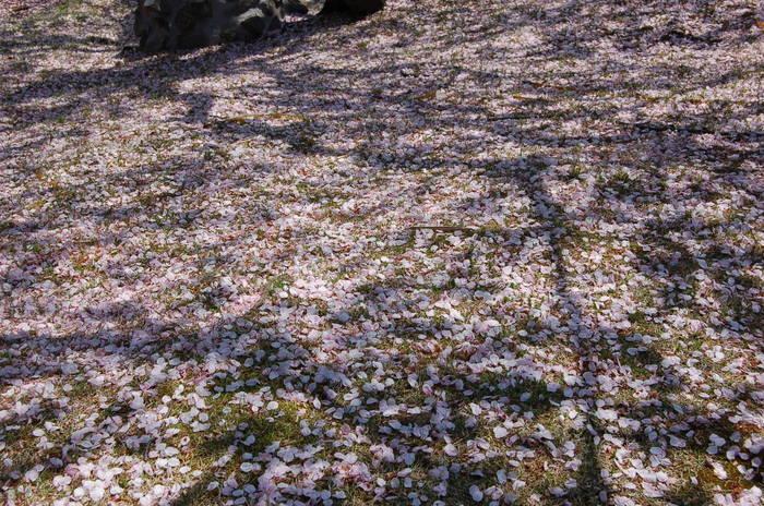 「桜の花びらのじゅうたん」_b0087994_13395771.jpg