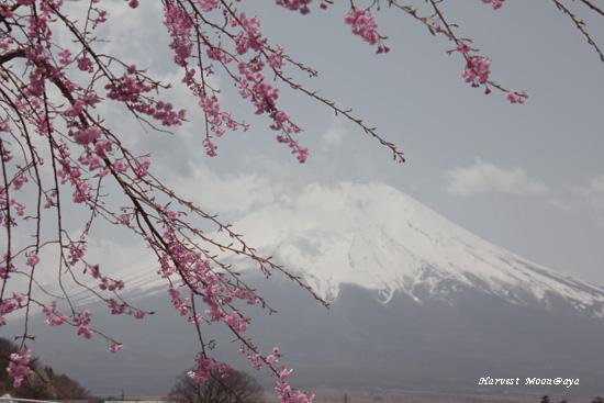 SAKURA~富士山からの花便り_b0208495_23413341.jpg