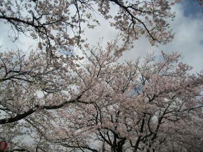 桜!満開!SAKURA☆2012_c0113001_0472240.jpg