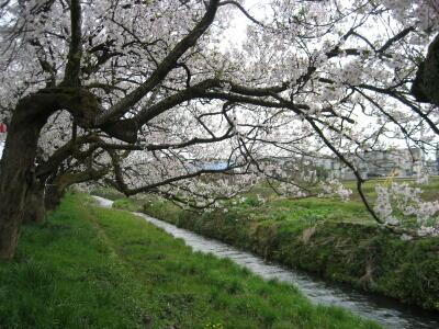 桜!満開!SAKURA☆2012_c0113001_0494932.jpg