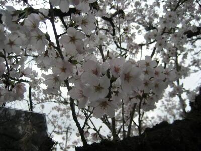 桜!満開!SAKURA☆2012_c0113001_0502068.jpg