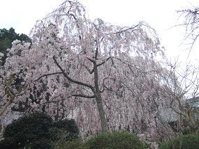 桜名所めぐり 大野寺_d0227610_1934048.jpg