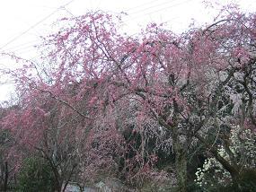 桜名所めぐり 大野寺_d0227610_19344137.jpg