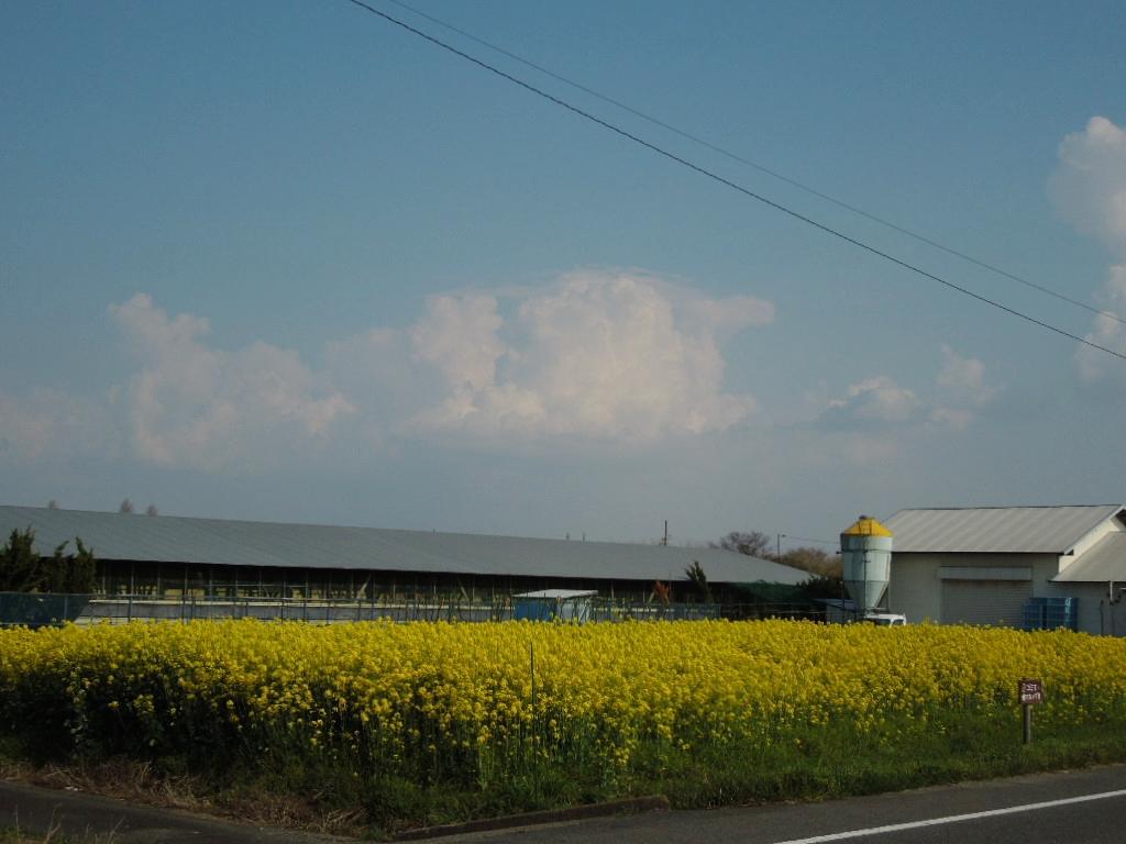 「菜の花畑 満開-2012」_a0120513_1515352.jpg