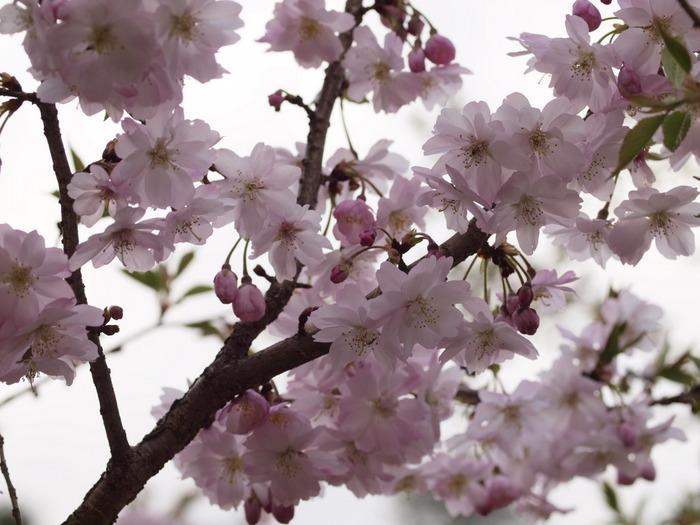 十月桜_c0116915_0215261.jpg