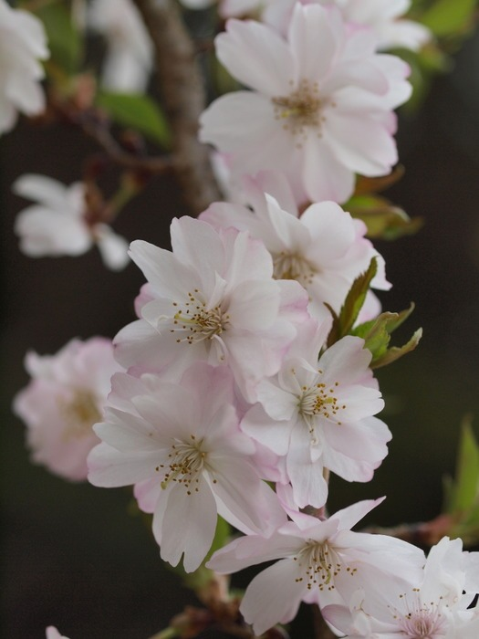 十月桜_c0116915_0225543.jpg
