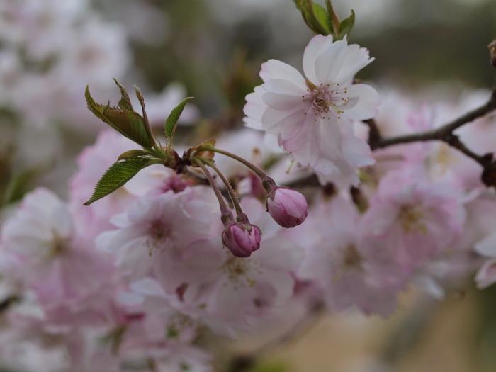 十月桜_c0116915_023189.jpg