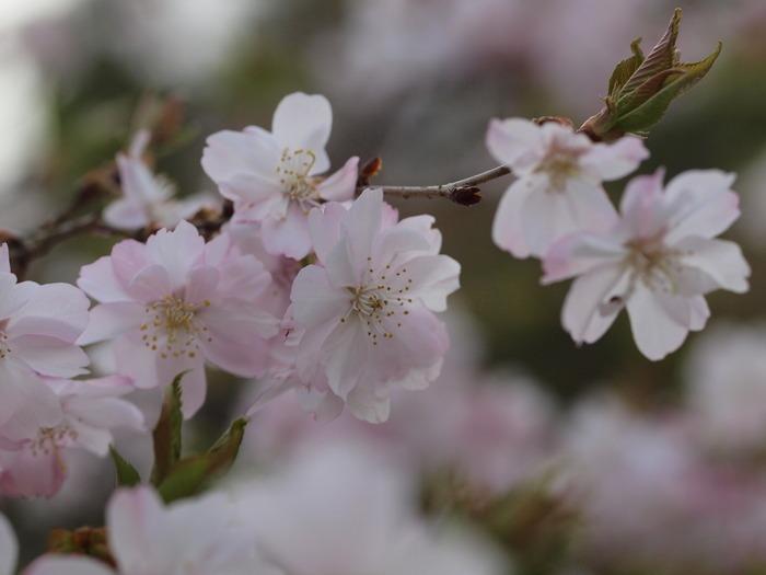 十月桜_c0116915_0233793.jpg