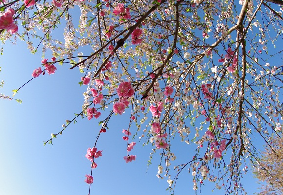 しだれ桜_f0214527_2110198.jpg