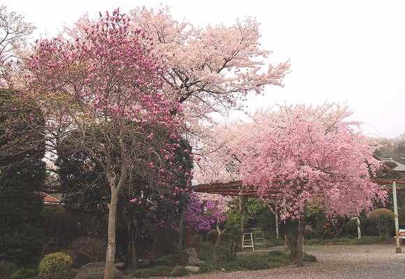 しだれ桜_f0214527_21155318.jpg