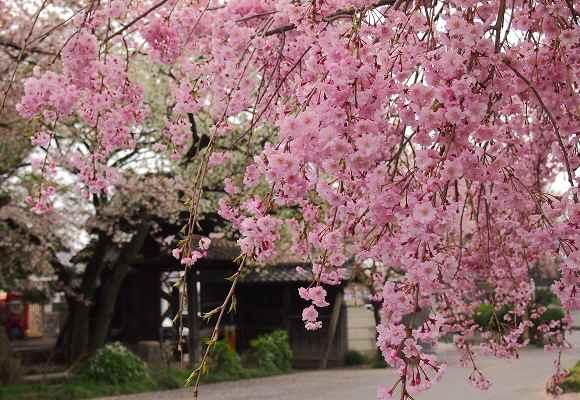 しだれ桜_f0214527_2154420.jpg