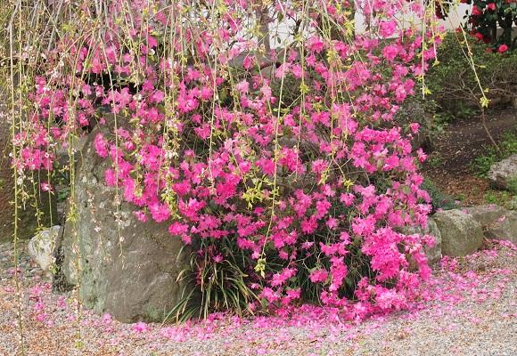 しだれ桜_f0214527_217177.jpg