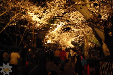 夜の桜、夜のカピバラ_f0138828_21265638.jpg