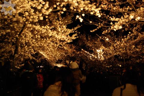 夜の桜、夜のカピバラ_f0138828_21272220.jpg