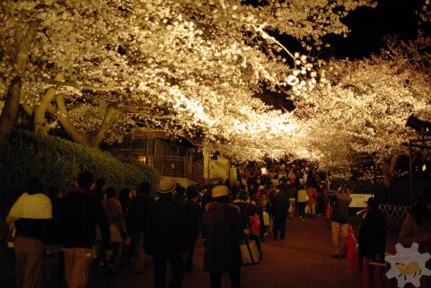 夜の桜、夜のカピバラ_f0138828_212786.jpg