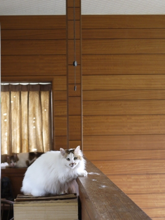 猫のお友だち ハナちゃんセトラちゃんホビちゃんエムくんチコちゃんライオンちゃん&いっぱい編。_a0143140_22285877.jpg