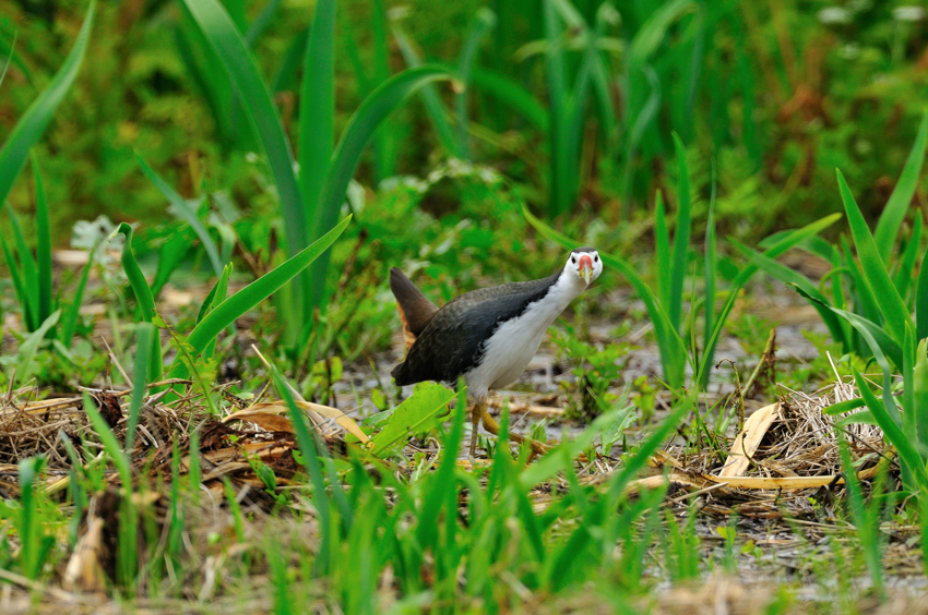 シロハラクイナ(White-breasted Waterhen)~2012.04_b0148352_8511133.jpg