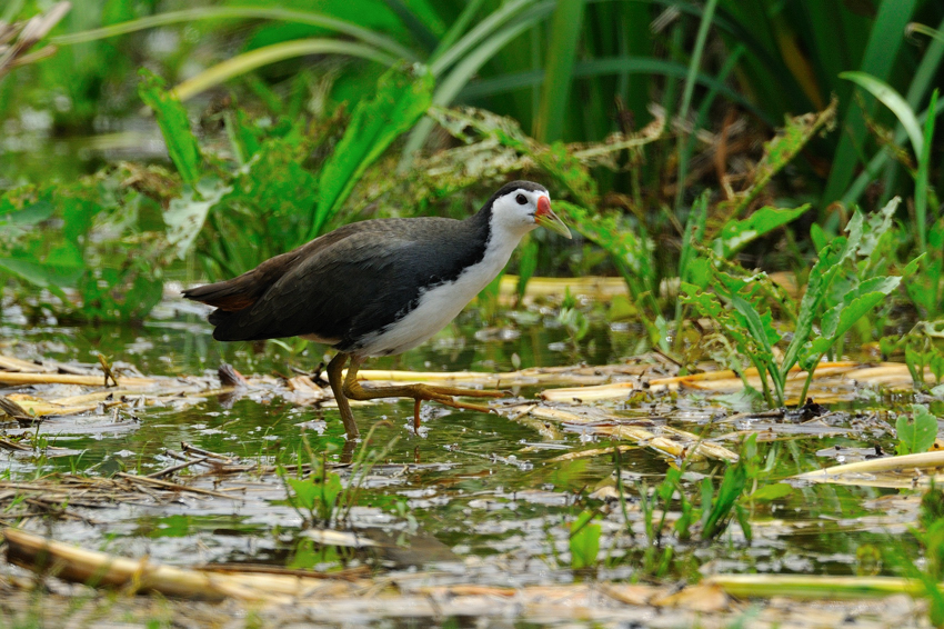 シロハラクイナ(White-breasted Waterhen)~2012.04_b0148352_8513538.jpg
