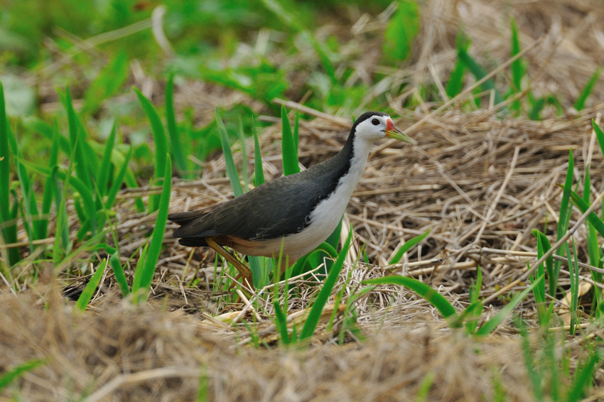 シロハラクイナ(White-breasted Waterhen)~2012.04_b0148352_852029.jpg