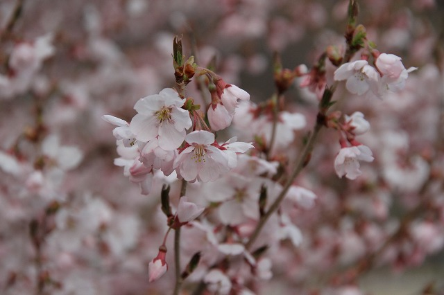 地元の桜は良いものです・・・_b0100253_164639.jpg