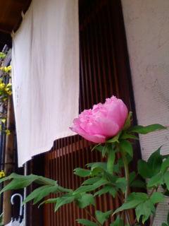 牡丹が咲きました。開花日は昨年と同じ4月19日_f0138653_17564572.jpg
