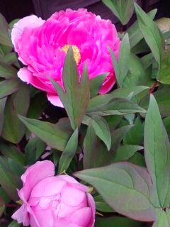 牡丹が咲きました。開花日は昨年と同じ4月19日_f0138653_175747.jpg