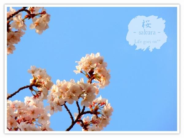 Oo。。 桜2012 1  。。oO_b0155684_18385786.jpg